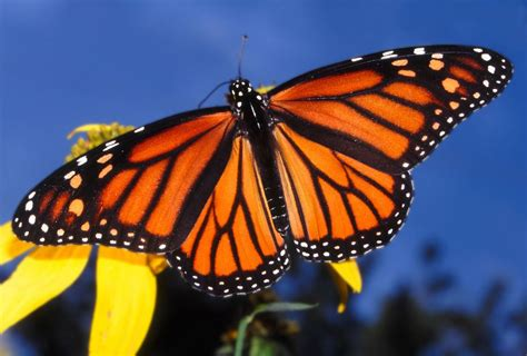 monarch butterfly falling number of monarch butterflies worries