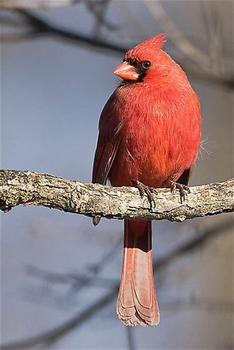 northern cardinal canadian bird photography pinterest