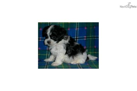 shih tzu puppies for sale in nd meet a mixed other puppy for sale for 350 maltzu maltese shih tzu