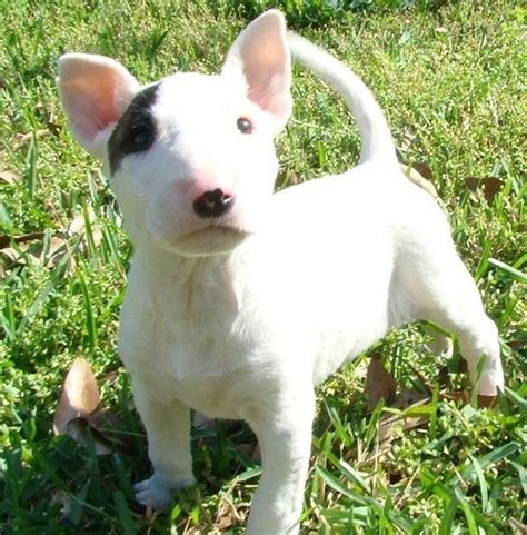 bull terrier puppies for sale bull terrier puppies for sale