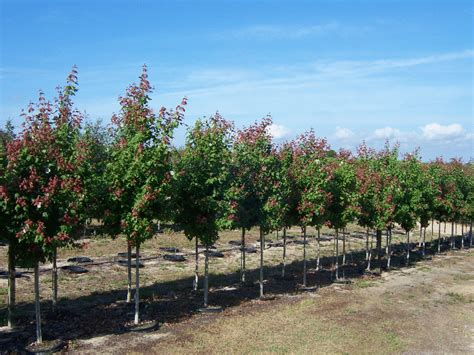 maple tree in florida 30 gallon florida maple s landscaping plants trees