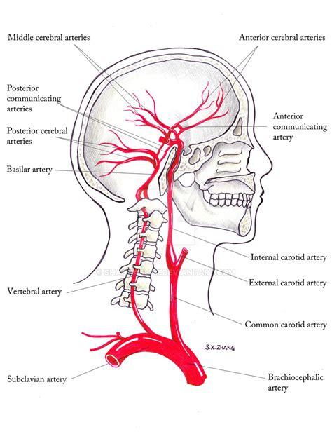 brain blood supply diagram blood supply to the skull by shannabear on deviantart