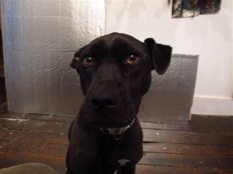 small lab found small black lab pit mix church hill people s news