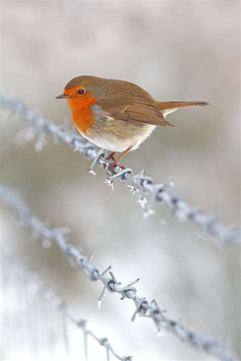 winter robin on a frosty wire fence by simon roy via