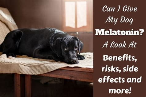 can dogs melatonin a tired issue can i give my melatonin