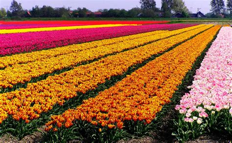 tulip feilds background pictures of tulip fields holland wallpaper view