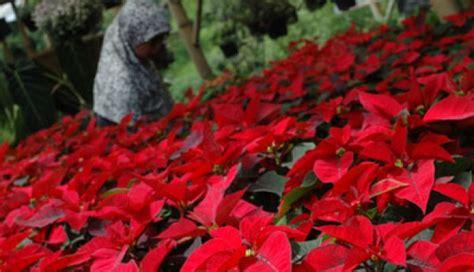 Bibit Tanaman Natal gurihnya bisnis tanaman hias bisnis tempo co