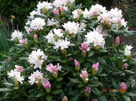 wann pflanzt rhododendron wann kann ich meine rhododendron umtopfen garten