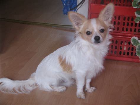 Chihuahua Deckr 252 De Zum Decken Chihuahua