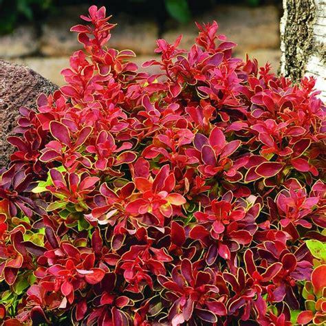 Plant Pots For Sale by Buy Barberry Berberis Thunbergii F Atropurpurea