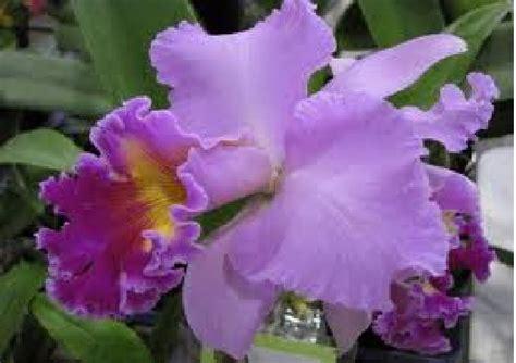 Tanaman Hias Anggrek Cattleya Cl belajar ipa smp tanaman anggrek