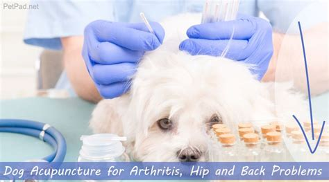 acupuncture for dogs acupuncture for arthritis hip and back problems