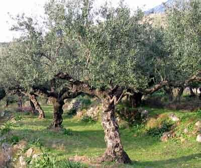 mission olive trees backyard garden