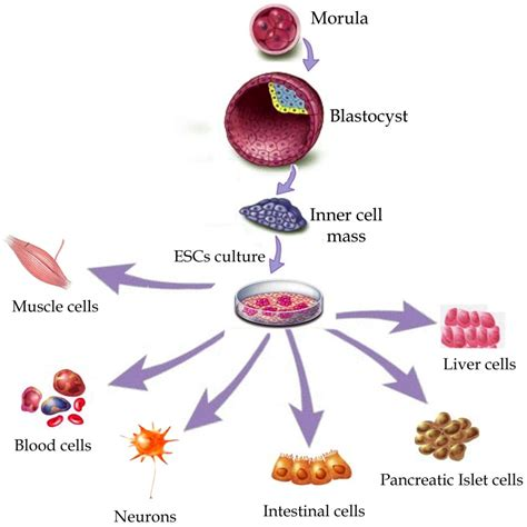stem cells what is stem cell research and why is it so important