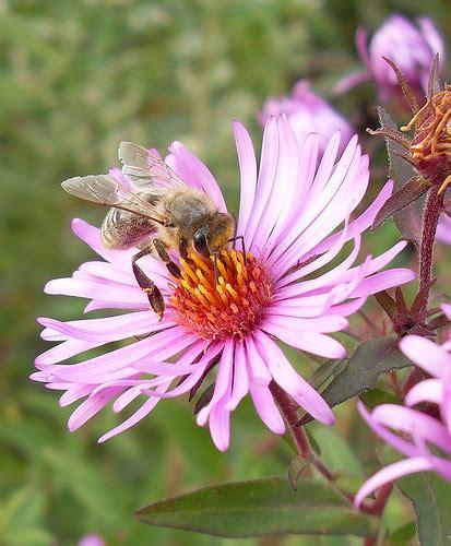 Aster Flower Purple White Pink Aster Flowers Aster Flower Gallery
