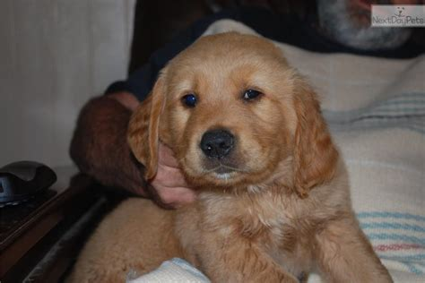 golden retriever puppies indiana for sale golden retriever puppy for sale in indiana breeds picture