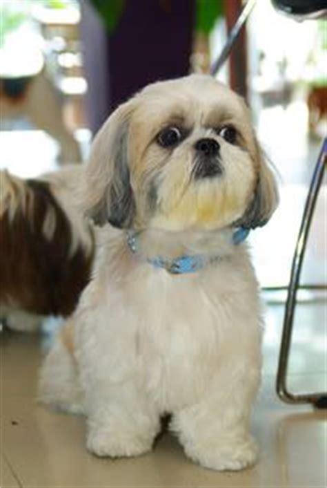 cut cuts for my shih tzu shih tzu shih tzu puppy and puppy grooming on pinterest