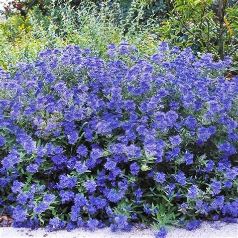 shrub blue flowers k w greenery inc 187 deciduous shrubs