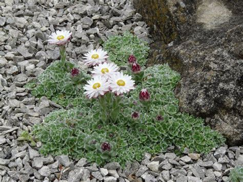 raised garden beds south africa helichrysum milfordiae the beautiful paper like blooms of