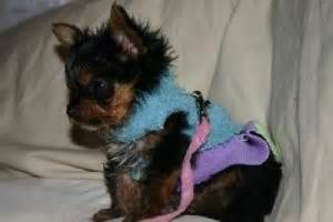 yorkies for adoption in arkansas dogs arkansas free classified ads