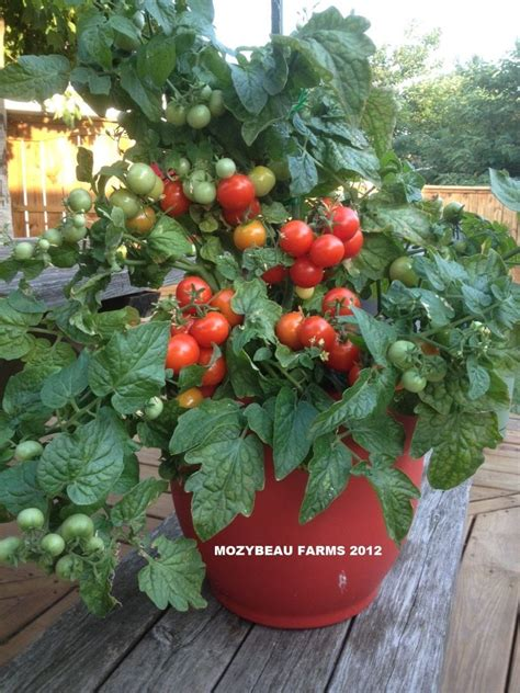 25 tiny tim tomato seeds container growing patio