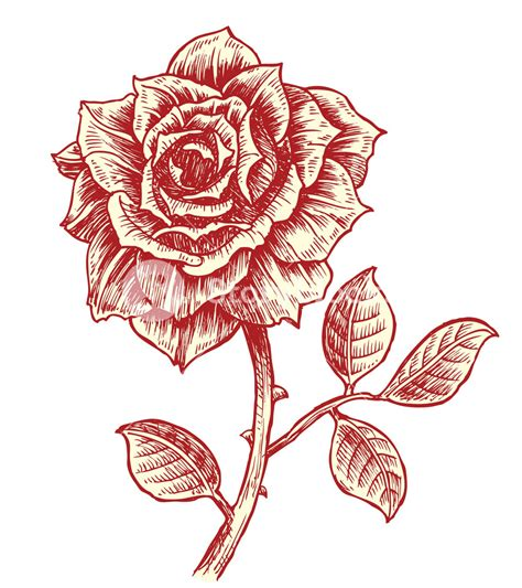 vintage rose vector illustration royalty free stock image