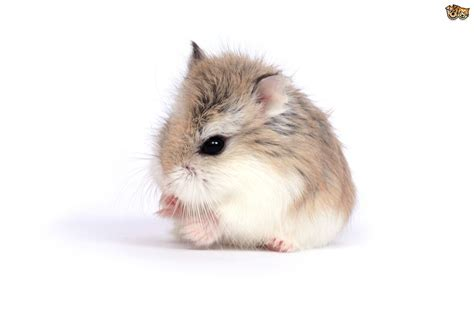 types hamster atol protected information on hamsters pets4homes
