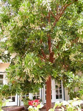 Arbutus Unedo Marina by Strawberry Tree Arbutus Marina Trees For The