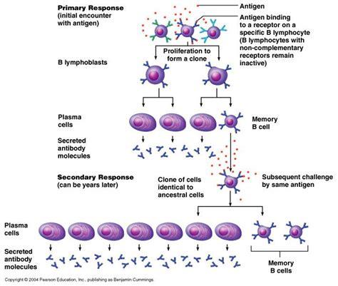 diagram of lymphocytes antigens differentiation b lymphocyte b cell