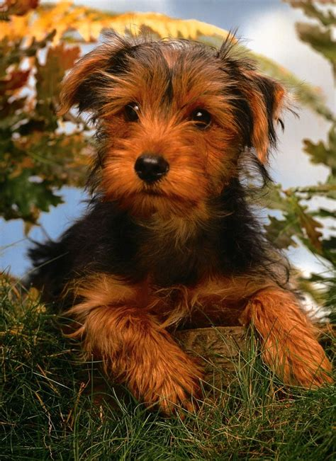airdale puppy airedale terrier puppy photo and wallpaper beautiful airedale terrier puppy