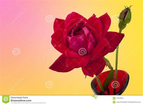 red and pink background royalty free stock images image red rose and bud on pink and yellow background royalty
