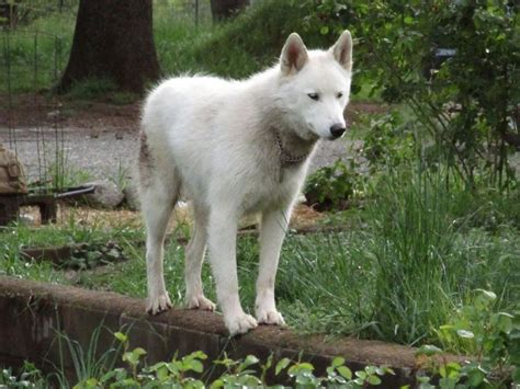 arctic wolf puppies 17 best images about arctic wolf hybrid on wolves wolfdog and arctic wolf