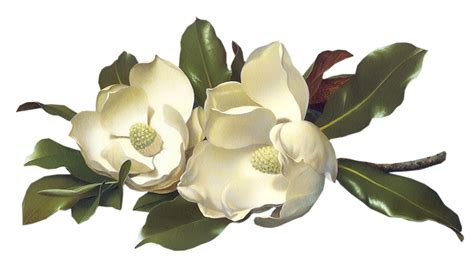 Baby Welcome Home Decoration flowers magnolias large image click to download png