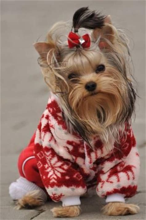 yorkie sweaters yorkie winter and sweaters on
