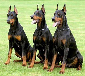 how to pitbull puppies to be guard dogs 5 best guard dogs german shepherd rottweiler doberman pit bull ext