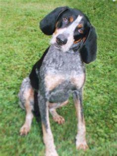 free blue tick hound puppies blue tick hound dogs 5 breeds picture