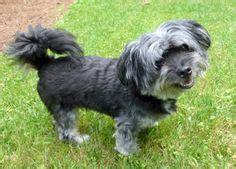havanese rescue ga adoptable dogs mostly havanese on havanese dogs lhasa apso and adoption