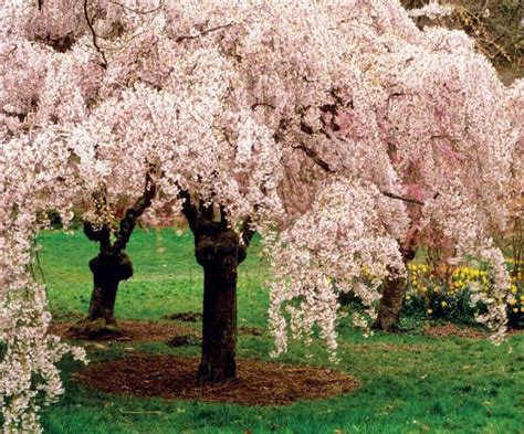 cherry tree magazine best trees for your yard homesteading and livestock earth news