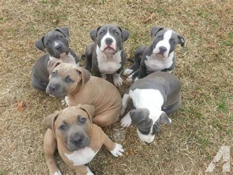 pitbull puppies for sale in oklahoma lowering the price ukc xl pit bull pitbull puppies for sale in shawnee oklahoma