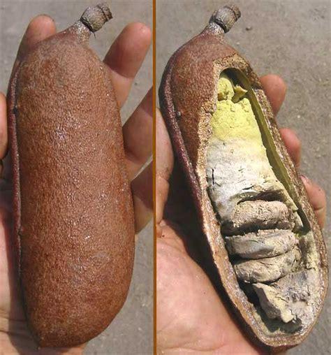 guapinol or huapinol hymenaea courbaril