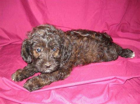 schnoodle puppies rescue newhairstylesformen2014 com schnoodle dogs for adoption schnoodle puppy 2 year