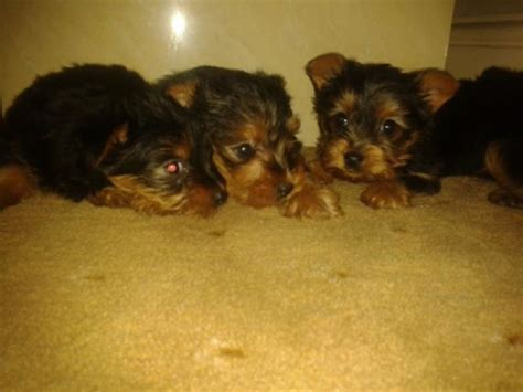 yorkie puppies for sale in east terrier puppies for sale east linc immingham lincolnshire pets4homes
