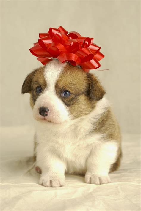 puppy with bow puppy wearing a bow photograph by nickel