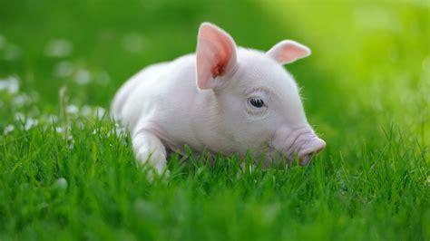 Animal Farm Pig piglet animal pet www imgkid the image kid has it