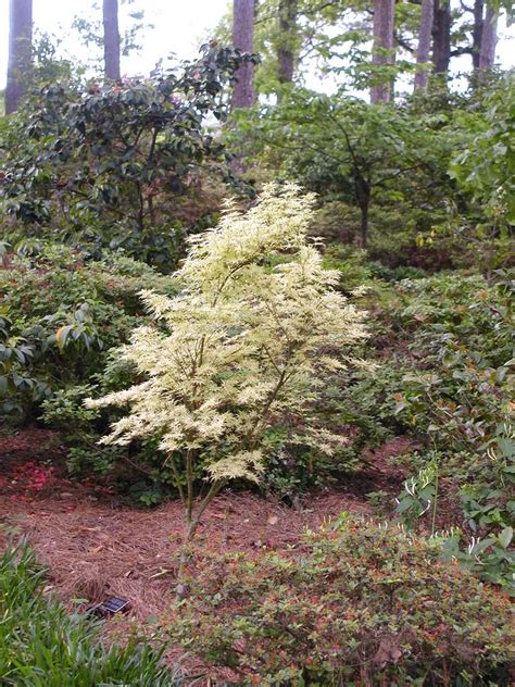japanese maples east texas gardening