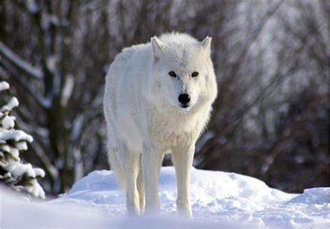 늑대 종류 : 네이버 블로그