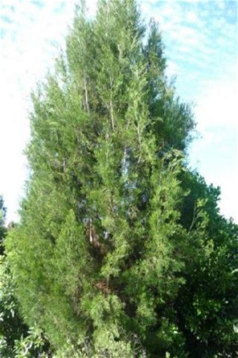 Asian Home Decor cypress pine auburn woodturning