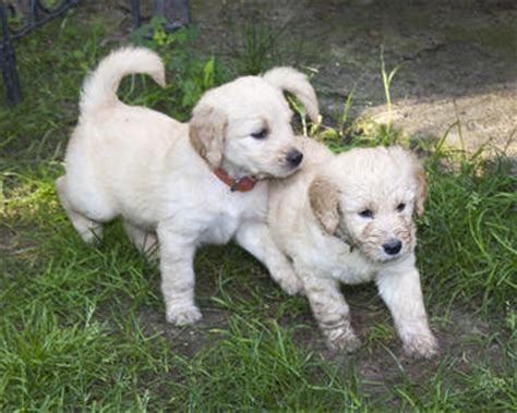 mini goldendoodles western ny goldendoodle puppies in western new york breeds picture