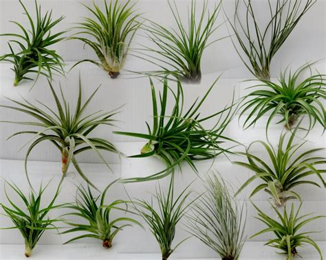 Orange And Blue Home Decor by Air Plants Tillandsia 5 Assorted Plants Any Time