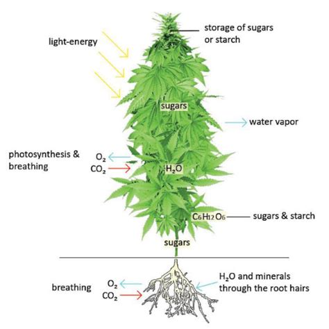 what does a tree to do with what is a marijuana plant the
